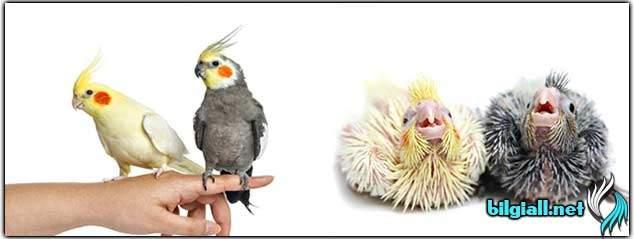 sultan-papagani